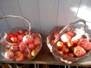 récolte de tomates 2015